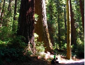 huge redwoods.JPG