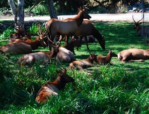 lots of elk.JPG