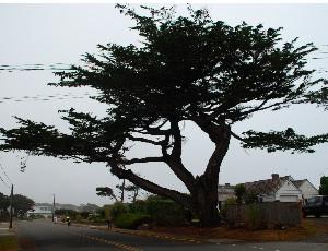 magnificant treet.JPG