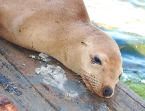 molting sea lion.JPG