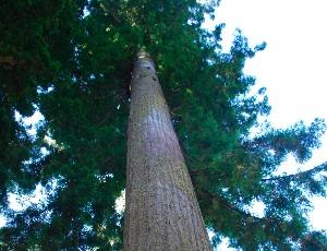tall redwoods.JPG
