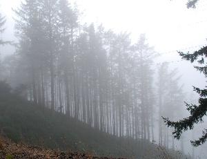 trees in fog.JPG